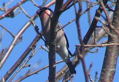0207-Bullfinch-450
