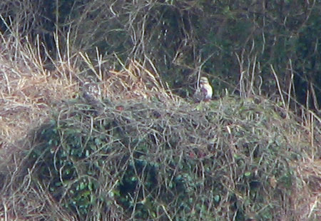 0207-Common Buzzard1-450