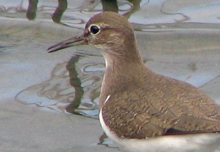 0207-Common Sandpiper1-450