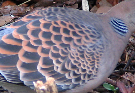 0207-Oriental Turtledove-450