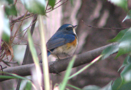 0207-Red-Flanked Bluetail1-450
