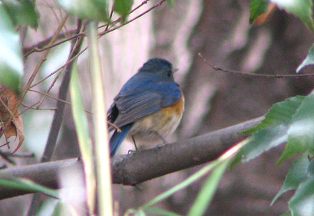 0207-Red-Flanked Bluetail3-450
