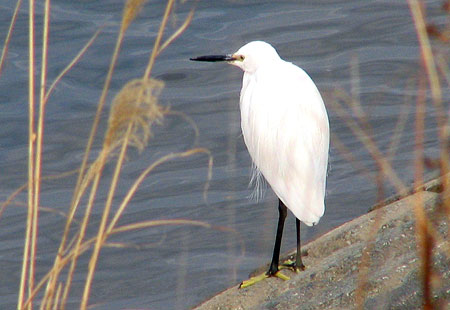 0306-Little Egret-450