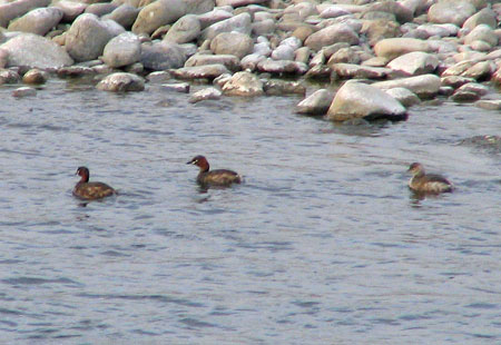 0306-Little Grebes Tama-450