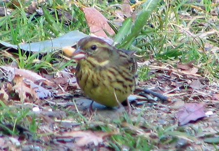 0307-Black-Faced Bunting-450