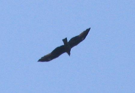 0307-Black Kite-450