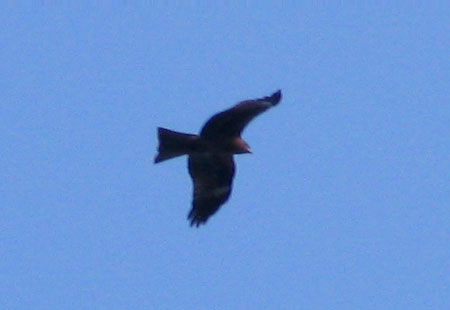 0307-Black Kite2-450