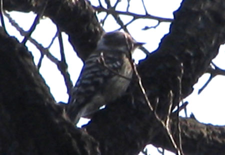 0307-J Pygmy Woodpecker-450