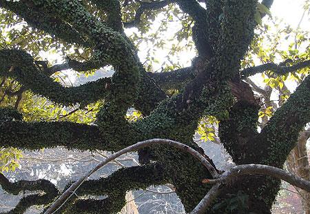 0307-Mogusaen Tree-450
