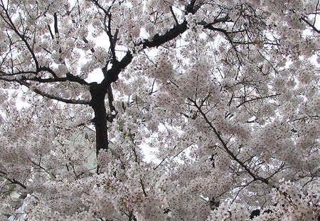 0307-Sakura1-450