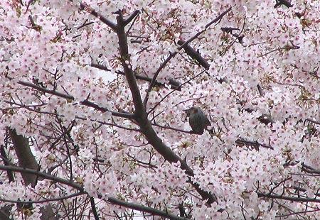 0307-Sakurabird-450-1