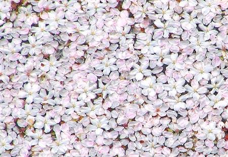0307-Sakurapetals-450
