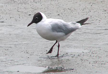0406-Black-Headed-Gull1-450
