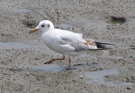 0406-Black-Headed-Gull2-450