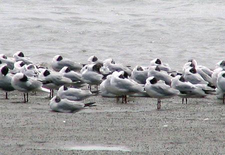 0406-Black-Headed-Gulls-450