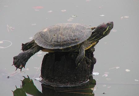 0406-Turtle-450