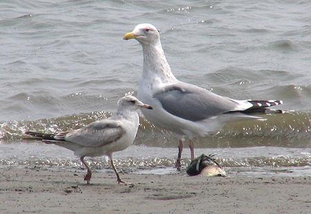 0406-Two-Gulls-450