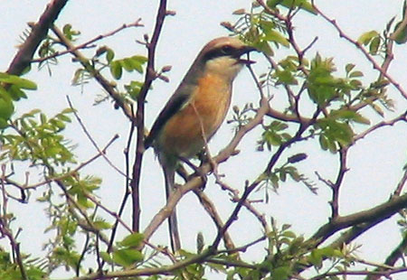 0407-Bull-Headed Shrike1-450