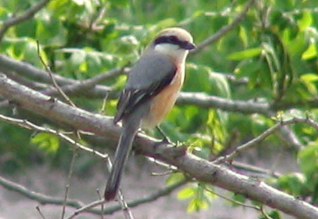 0407-Bull-Headed Shrike2-450
