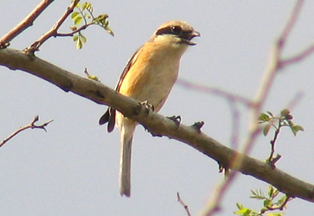 0407-Bull-Headed Shrike3-450