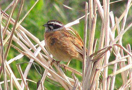0407-Meadow Bunting1-450