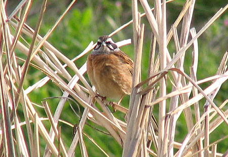 0407-Meadow Bunting2-450