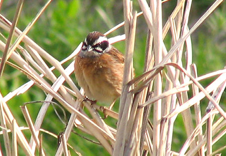 0407-Meadow Bunting3-450
