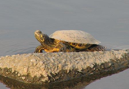 050327-Turtle
