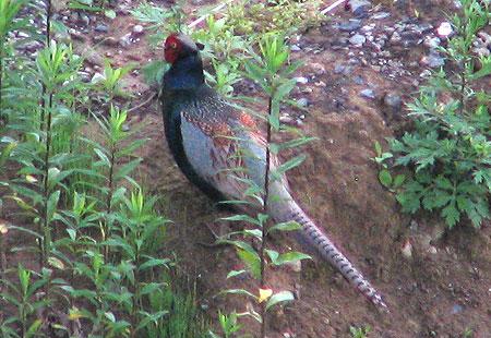 0606-Pheasant-450