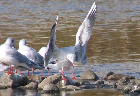 1105-Bh Gull Landing-450