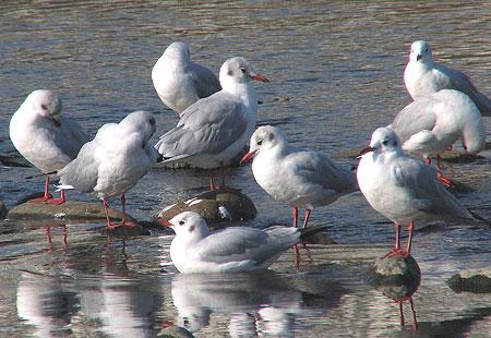 1105-Bh Gulls-450
