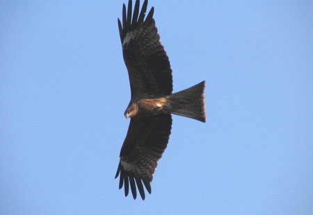 1105-Black Kite2-450