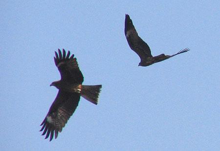 1105-Black Kites1-450