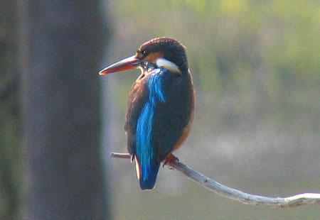 1105-Kingfisher7-450