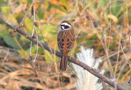 1105-Meadow Bunting-450