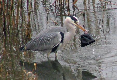 1106-Grey Heron1-450