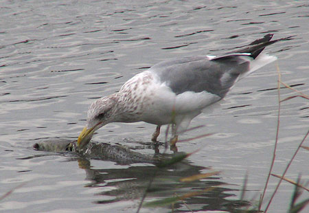 1106-Herring Gull1-450