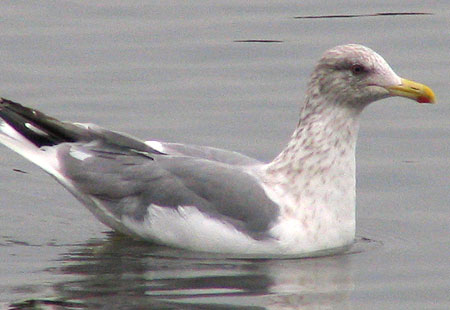 1106-Herring Gull2-450