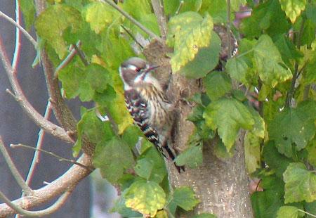 1206-Jpygmy Woodpecker1-450