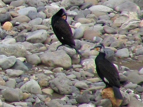 205-Greatcormorant-500