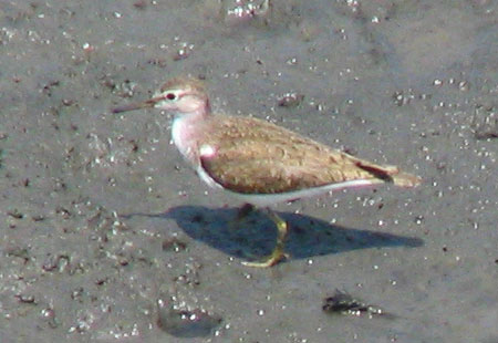 705-Commonsandpiper1-450