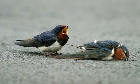 Anthroswallow